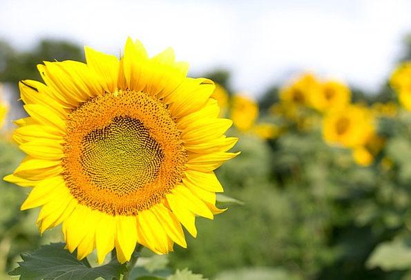 Sunflowers Flower Yellow Creamy Bloom Flowers Plan