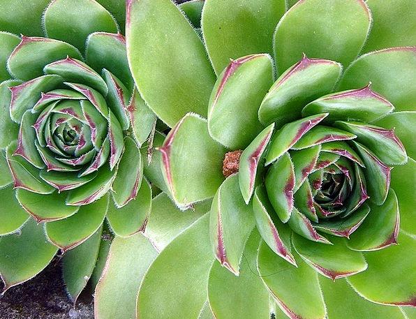 Rock Plant Backs Green Lime Spines Ornamental Plan