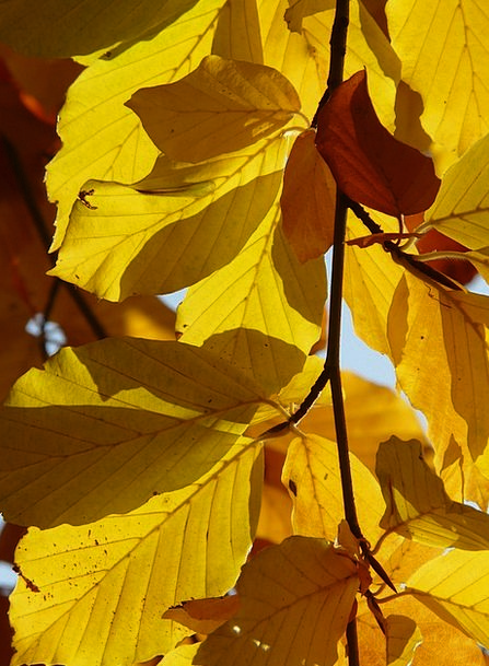 Beech Landscapes Nature Fagus Fagus Sylvatica Gold