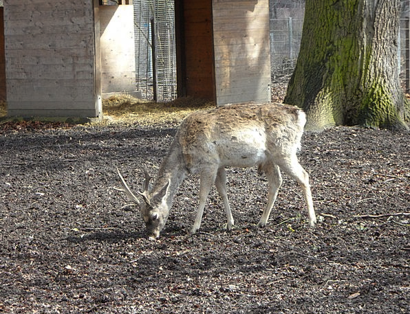 Wild Rough Disguised Camouflaged Fallow Deer Roe D