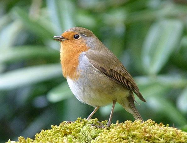 Linnet Fauna Wildlife Robin Bird Fowl Animal Physi