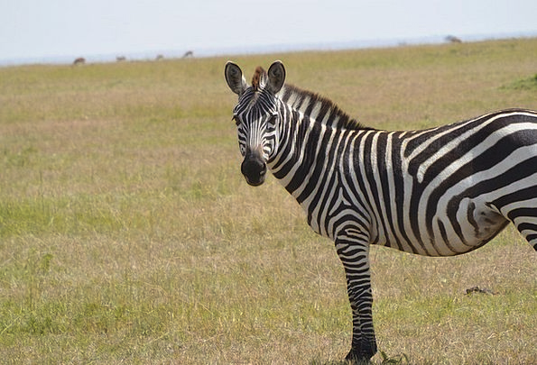Zebra Rough Animal Physical Wild Savanna Wildlife