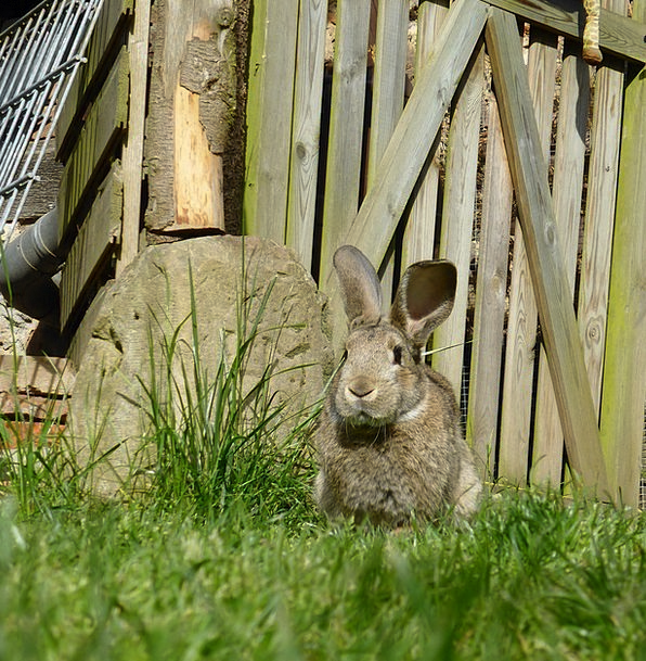 Rabbit Bunny Dwarf Rabbit Easter Fur Hare Animal C