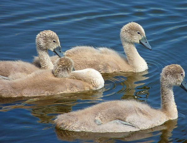 Swans Wanders Chickens Young Animals Chicks Water