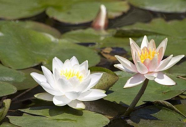 Water Lilies Lake Rose Nymphaea Pond Aquatic Plant