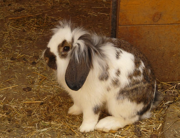 Hare Bunny Dwarf Bunny Rabbit Long Eared Animal Ph