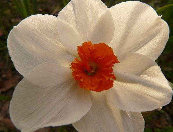 Narcissus Landscapes Nature Flower Floret Daffodil