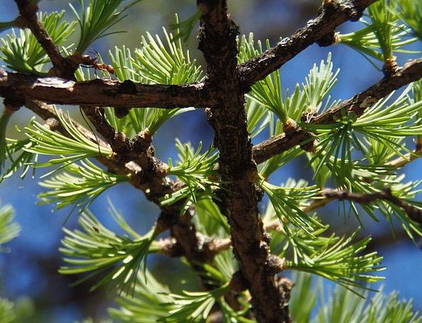 Branch Division Landscapes Nature Tree Sapling Lar