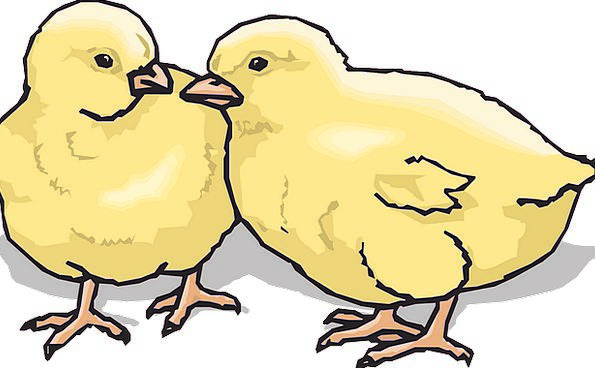Chicks Darling Chickens Cowards Baby Farm Farmhous