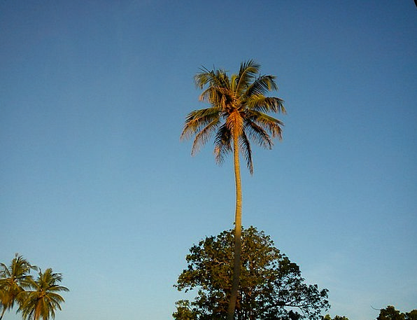 Coconut Tree Landscapes Countryside Nature Blue Sk