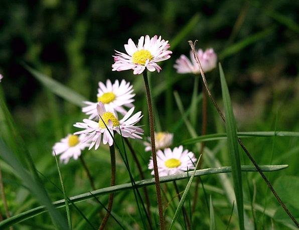 Daisies Straw-hat Flower Floret Summer Spring Coil
