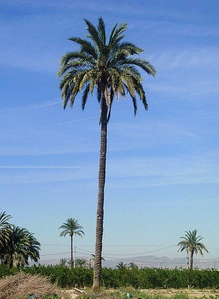 Palm Tree Arena Elche Field