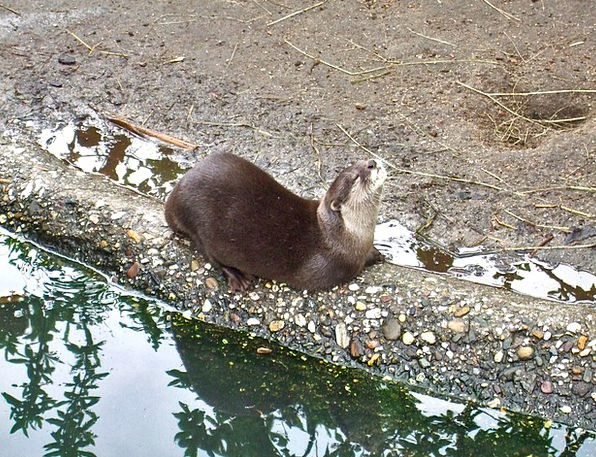 Clawed Otter Like Zoo Menagerie Enjoy Taster Analy