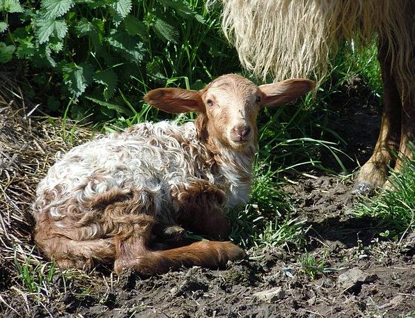 Sheep Ewe Deceitful Field Arena Lying Animal Physi
