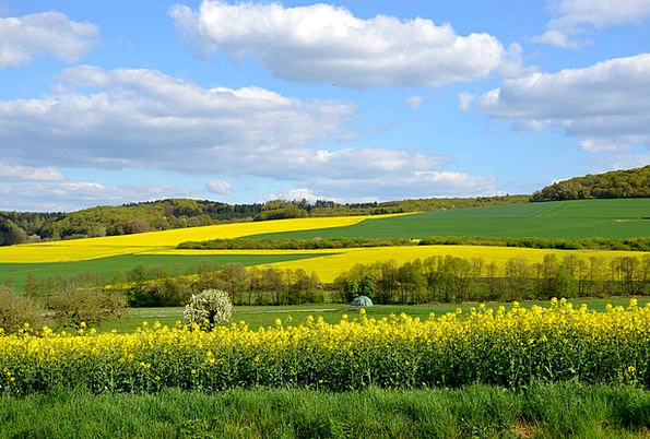 Field Of Rapeseeds Landscapes Scenery Nature Yello