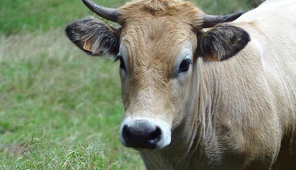 Cows Intimidates Faunae Pasture Meadow Animals