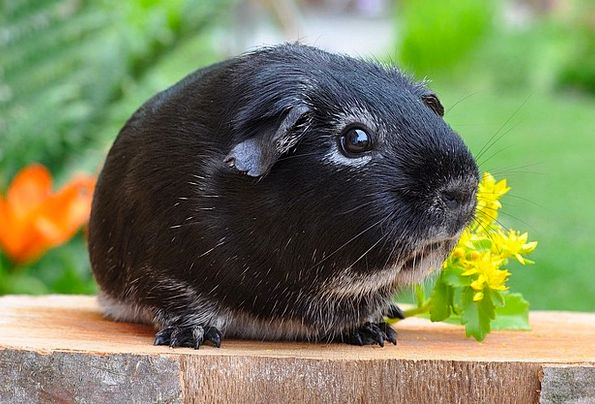Guinea Pig Animal Physical Rodent Smooth Hair Silv