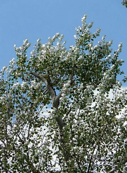 Leaves Greeneries Gray Populus Alba Silver Tree Sa