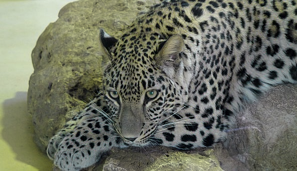 Leopard Physical Large Big Animal Predator Carnivo