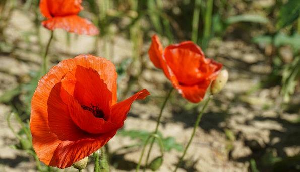 Poppy Landscapes Floret Nature Plant Vegetable Flo