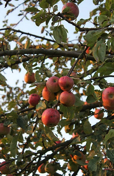 Apple Autumn Fall Apple Tree Tree Sapling Leaves G