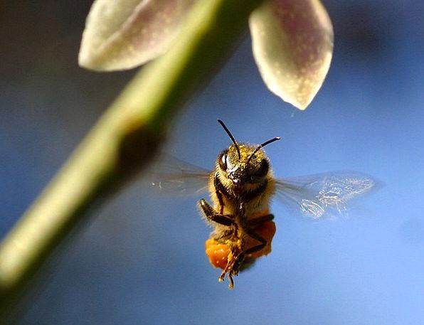 Bee Wing Annex Pollen Macro Float Drift Fauna Fly