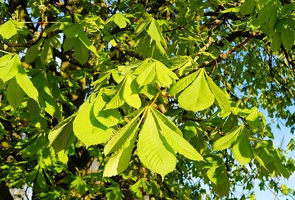 Chestnut Tree Branches Twigs Ordinary Rosskastanie