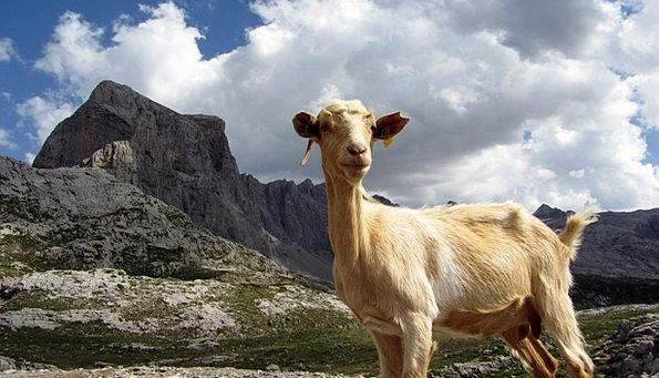 Goat Landscapes Crag Nature Animal Physical Mounta