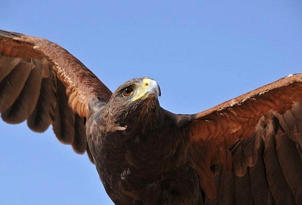Eagle Bird Fowl Raptor Beak Bill