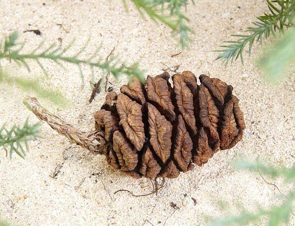 Sequoia Landscapes Nature Tap Blow Sequoia Cones P