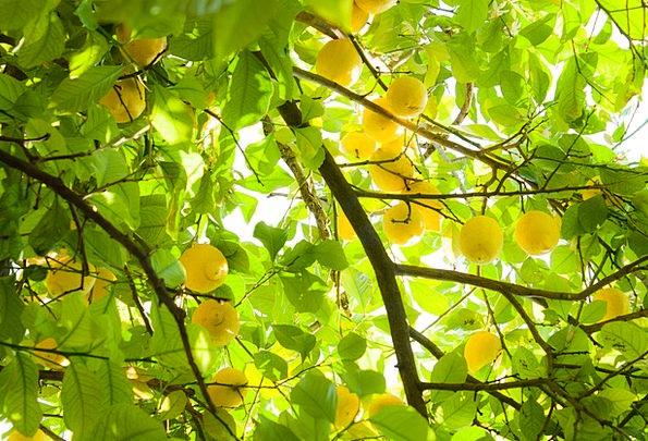 Summer Straw-hat Duds Yellow Creamy Lemons Citron