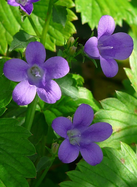Bellflower Landscapes Floret Nature Blue Azure Flo