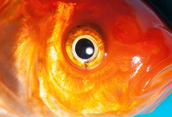 Eye Judgment Freshwater Fish Goldfish Karpfenfisch