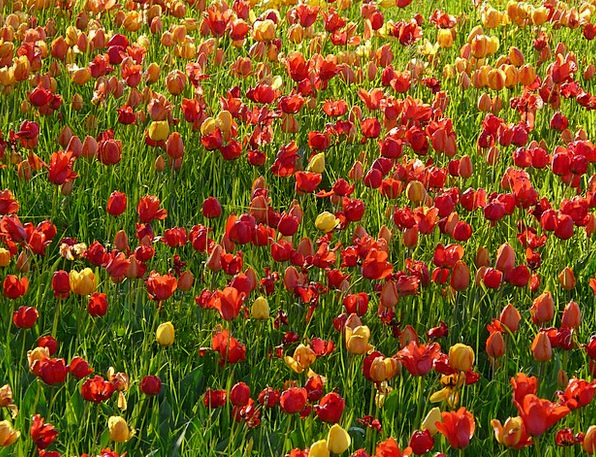 Tulip Field Landscapes Taillight Nature Light Brig