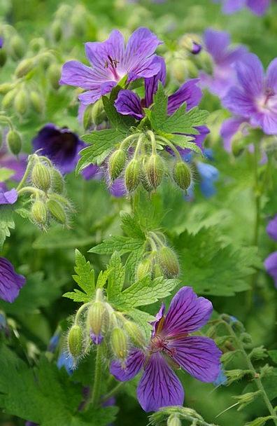 Cranesbill Landscapes Juice Nature Flower Floret S