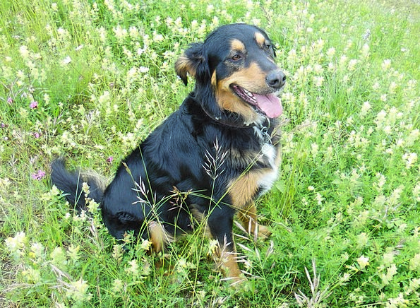 Mixed Breed Dog Cross Meadow Field Hybrid Dog Cani