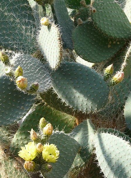 Prickly Pear Landscapes Nature Cactus Opuntia Robu