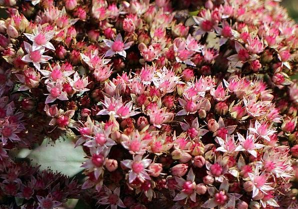 Flowers Plants Landscapes Nature Big Fat Hen Stone
