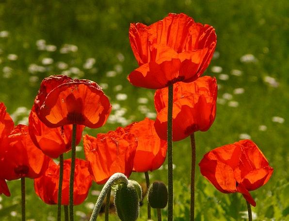 Klatschmohn Flower Floret Papaver Rhoeas Orange Re