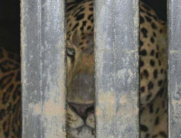 Leopard Captive Animal Physical Caged Wild Wildlif