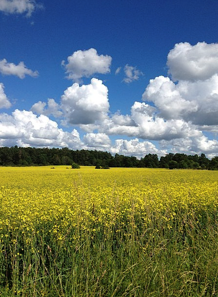 Summer Straw-hat Yellow Fields Sweden Canola Sky B