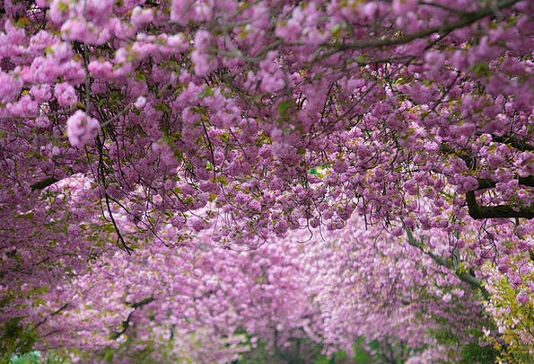 Cherry Blossoms Flushed Purple Elaborate Pink Spri