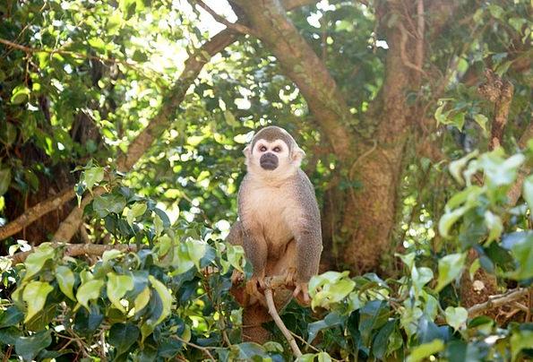 Monkey Ape Spider Monkey Amazon Cute Tree Sapling
