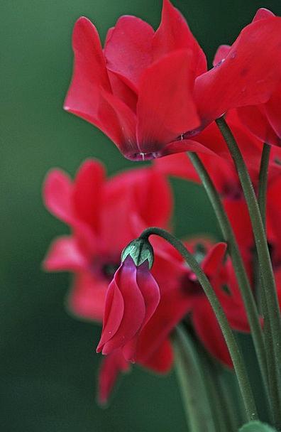 Cyclamen Floret Red Bloodshot Flower Garden Plot F