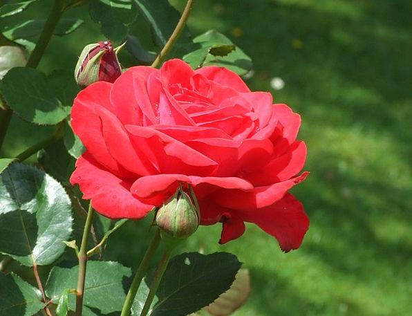 Red Rose Landscapes Vegetable Nature Flower Floret