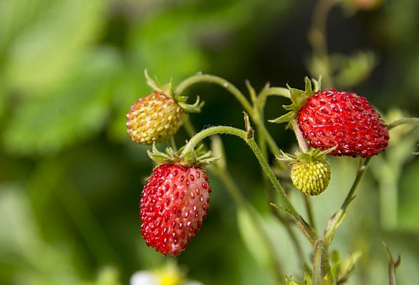 Wild Strawberry Landscapes Straw-hat Nature Berry