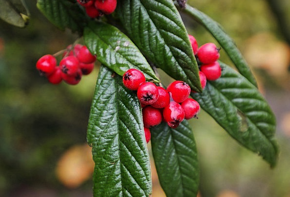 Cotoneaster Drink Food Red Bloodshot Berries Fruit