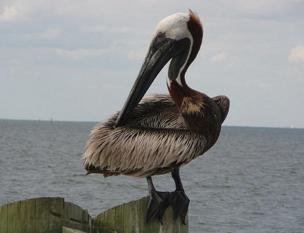 Pelican Vacation Natures Travel Wildlife Nature Bi