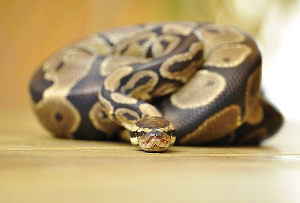 Snake Serpent Scale Gauge Ball Python Constrictor