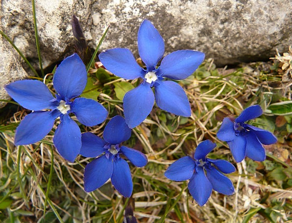Gentian Landscapes Nature Alpine Mountainous Sprin